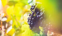 Výroba vína – jak se vyrábí bílé a červené víno
