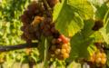Pálava – Moravská odrůda vinné révy s více než 60. letou tradicí pěstování