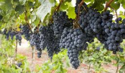 Cabernet Sauvignon – jedna z celosvětově nejoblíbenějších modrých odrůd vinné révy