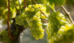 Sauvignon – tradiční francouzská odrůda, z níž se již po staletí vyrábí kvalitní a populární bílá vína