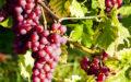 Tramín červený – odrůda s nejasným původem, jež je základem pro výrobu vín s intenzivní chutí a vůní