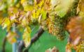 Ryzlink rýnský – jedna z nejvíce ceněných a nejkvalitnějších odrůd vinné révy