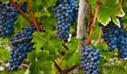 Dornfelder – Německá odrůda získávající na popularitě mezi českými vinaři