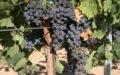 Merlot – Jedna z nejstarších odrůd na světě, jež je pěstována zejména na jihu