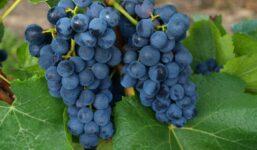 Modrý Portugal – Réva nepocházející z Portugalska vhodná pro červená a Svatomartinská vína