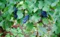 Rulandské modré – Tradiční francouzská odrůda, z níž se dá vyrobit jak červené víno, tak i šampaňské