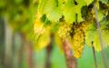 Ryzlink vlašský – Vysoce ceněná odrůda s nejasným původem