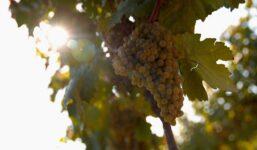 Veltlínské zelené – Stálice mezi středoevropskými víny