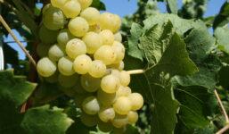 Müller Thurgau – Svěží bílé víno německo-švýcarského původu