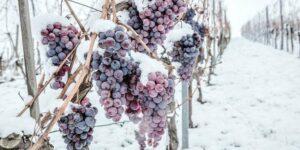 Ledové víno vytváří člověk ve spolupráci s přírodou